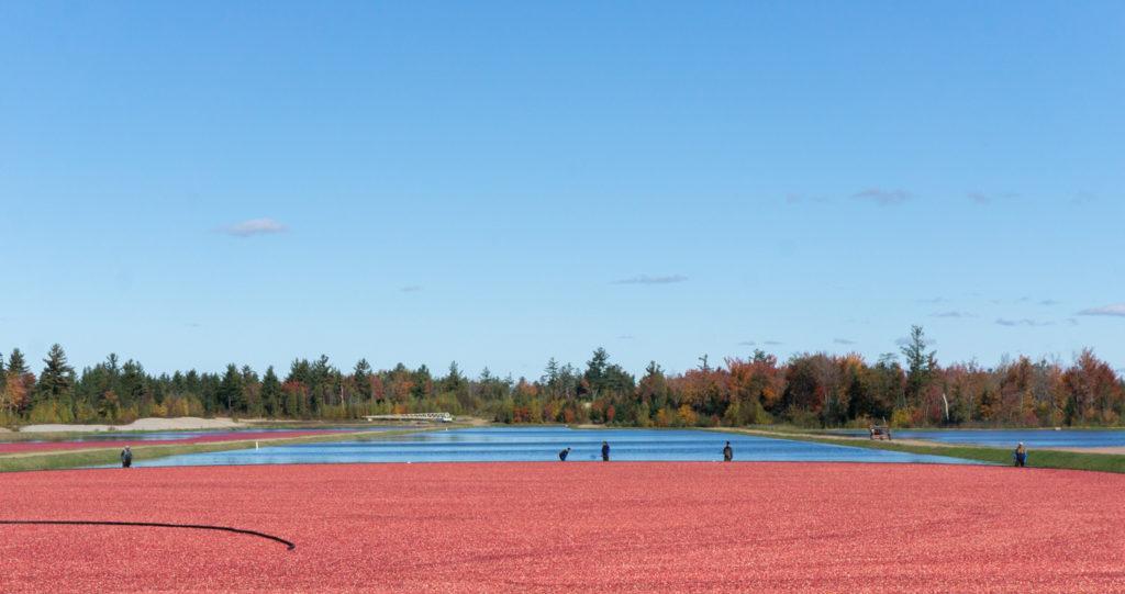 Tapis rouge de Canneberges au Centre-du-Québec - où voir les canneberges au Québec?