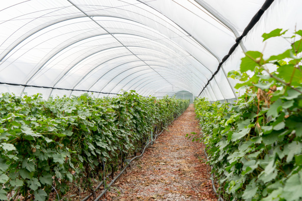 Vignes dans la serre au Vignoble du Ruisseau de Dunham sur la route des vins