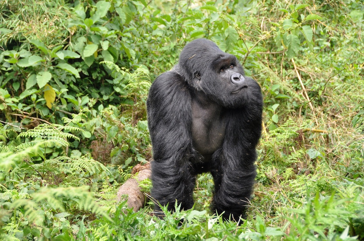 Gorille - Photo par Blog du voyage au Rwanda