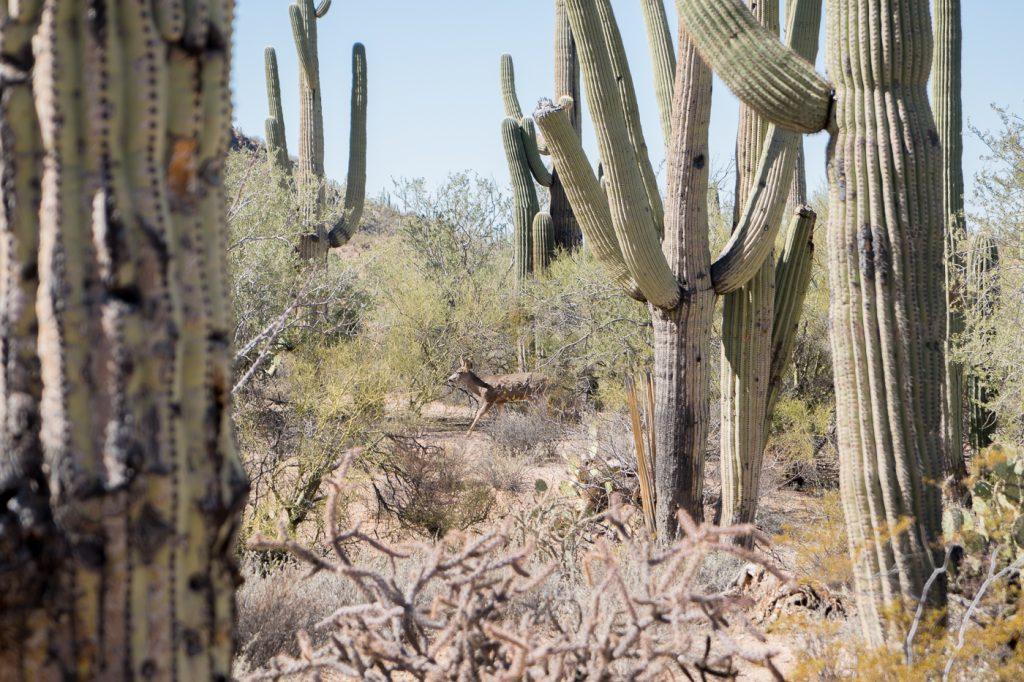 Mignonne petite biche dans le Saguaro National Park près de Tucson en Arizona
