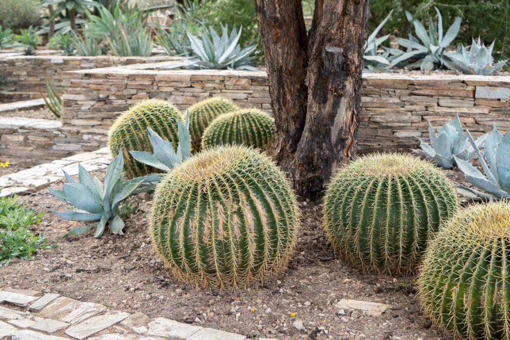 Des cactus qui ressemblent à des poufs dans le Desert Botanical Garden de Phoenix, Arizona