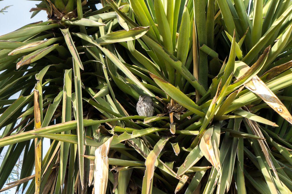 Un hibou qui se cache dans un arbre du Desert Botanical Garden de Phoenix, Arizona