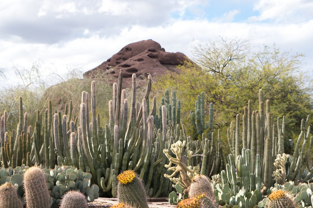 Montagne et cactus - Desert botanical garden de Phoenix en Arizona