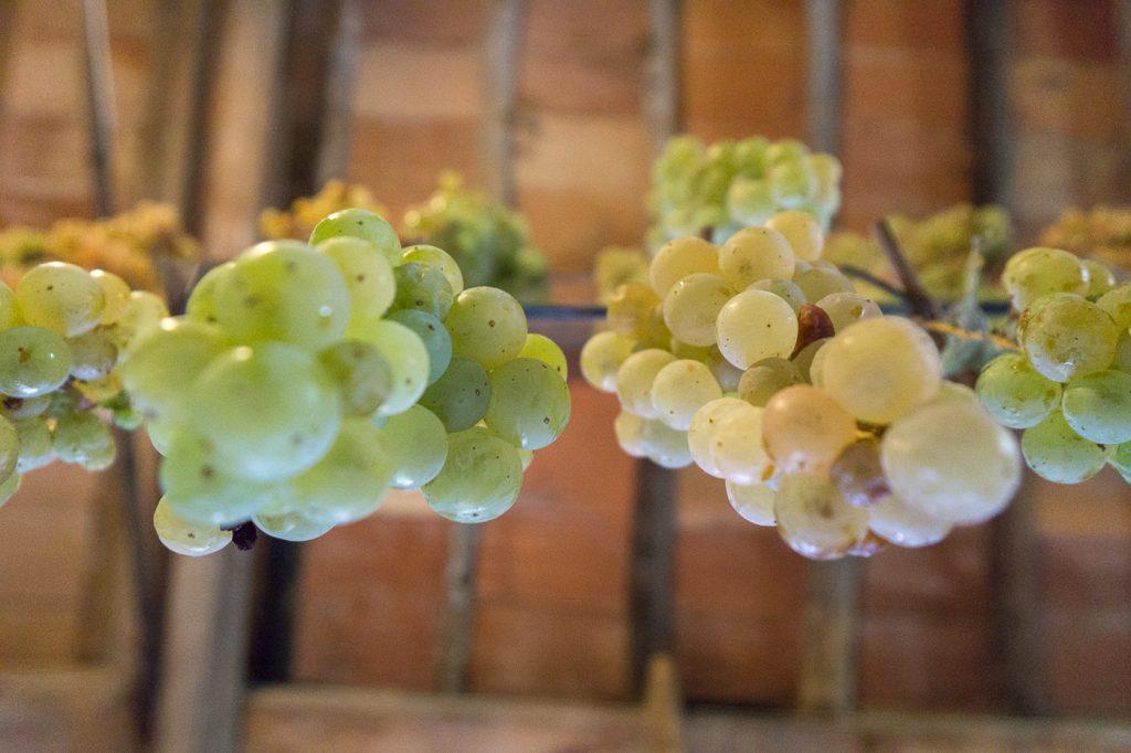 Raisins suspendus dans la grange d'un producteur de vinsanto en Toscane