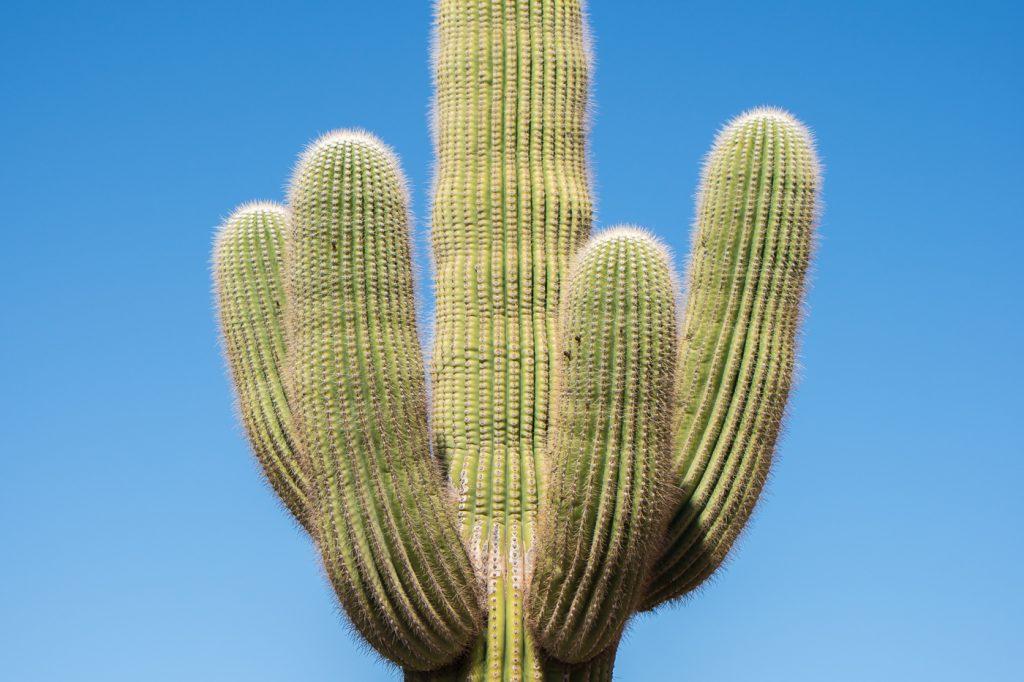 Vieux cactus Saguaro