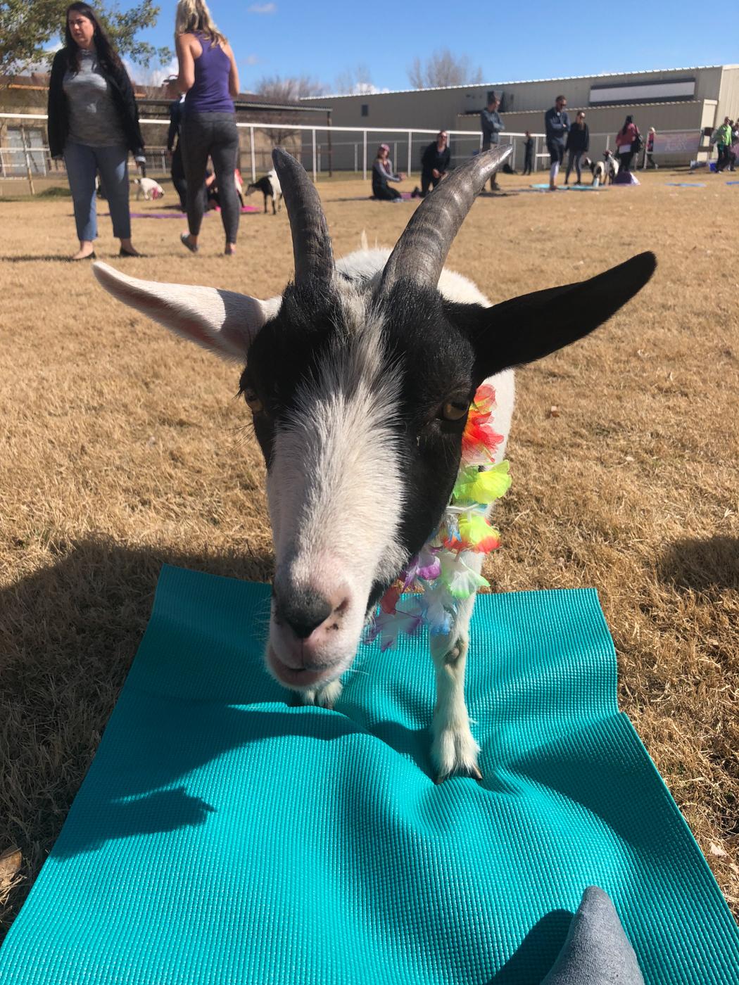 Chèvre sur mon tapis de yoga