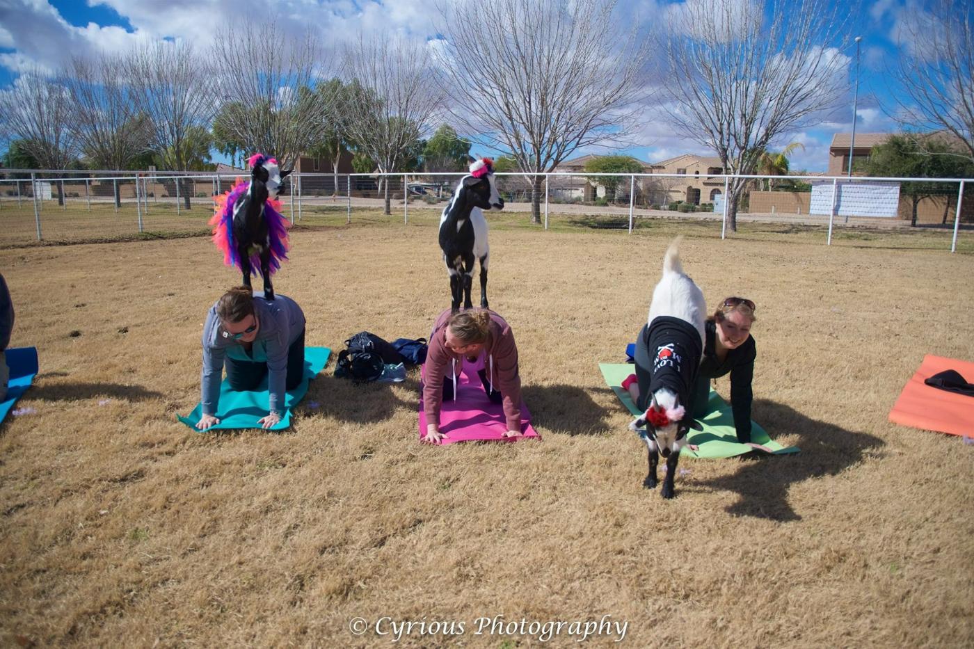 Yoga avec des chèvres, à faire en Arizona
