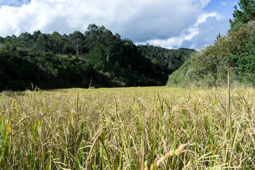 Épis de riz au Saha Forest Camp