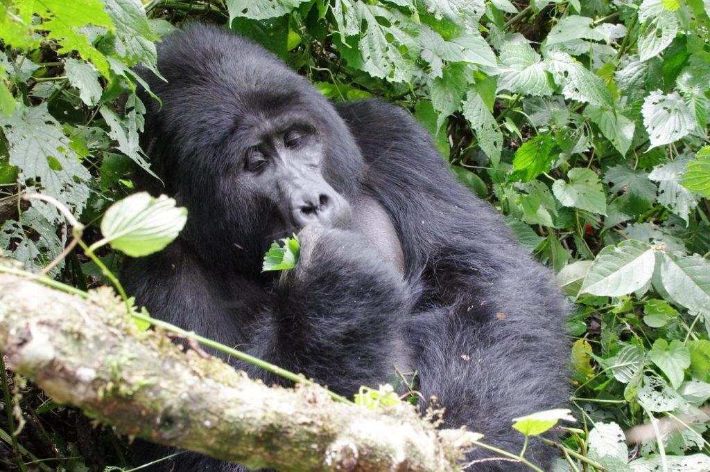 Gorille en voyage en Ouganda
