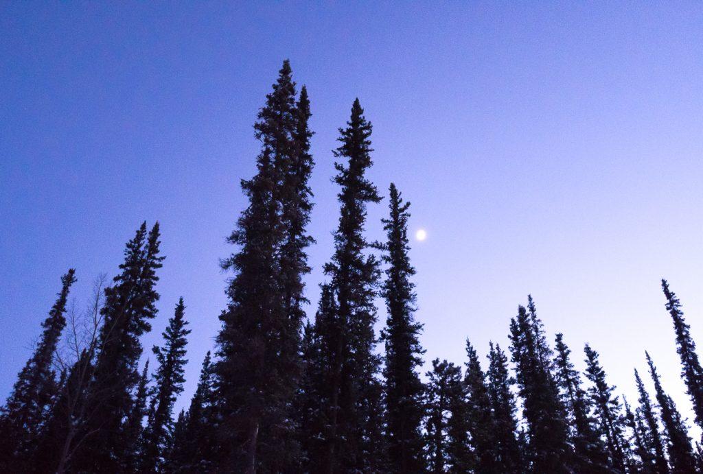 Arbres avec la lune et le ciel mauve - Yukon