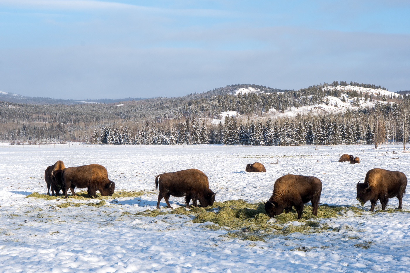 Bisons au Yukon Wildlife Preserve