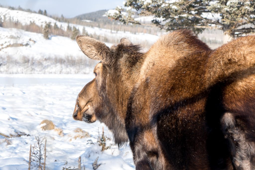Orignal du Yukon Wildlife Preserve près de Whitehorse