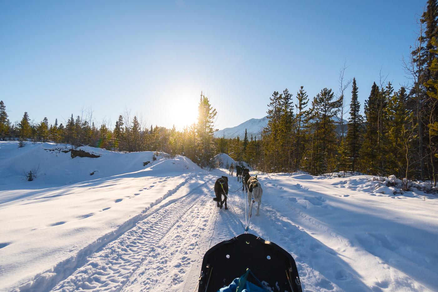Traîneau à chiens - Alpen Huskies - Whitehorse, Yukon