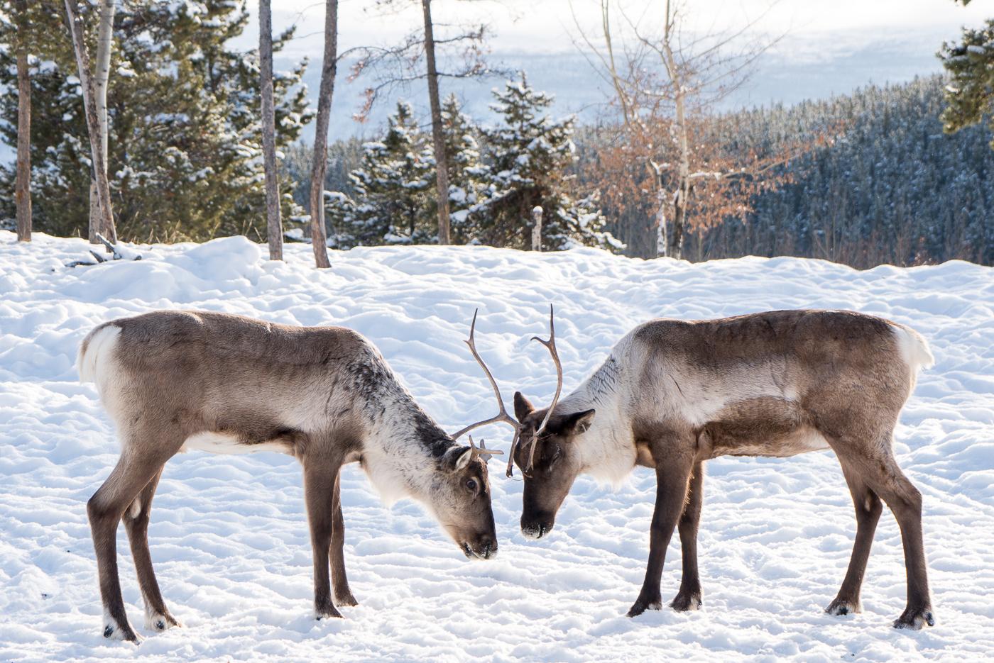 Rennes qui s'affrontent au Yukon Nature Preserve