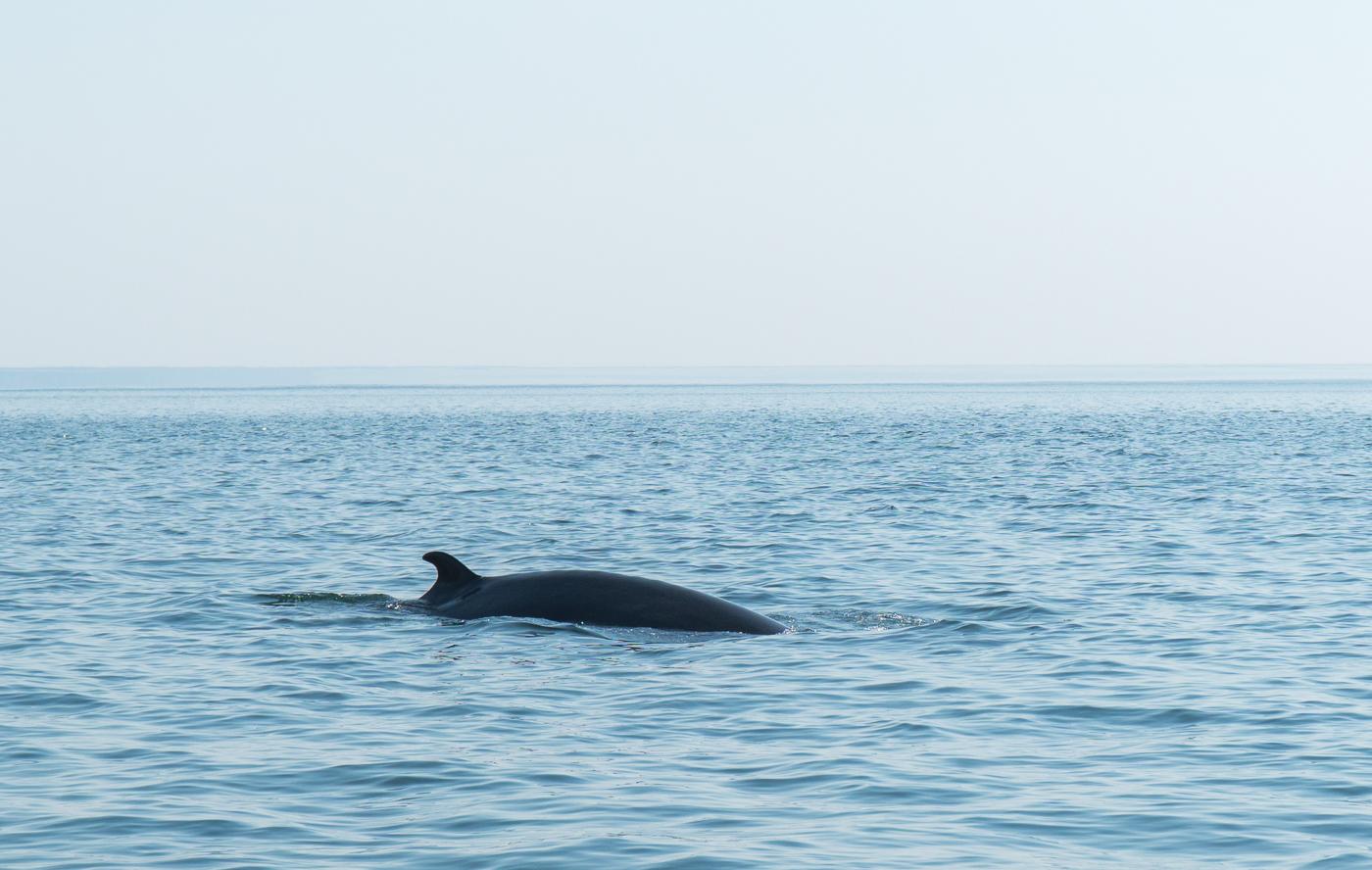 Baleines - Petit rorqual à St-Andrews, Nouveau-Brunswicka
