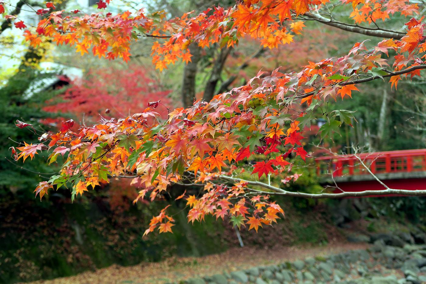 Feuilles dans les arbres du Japon en automne