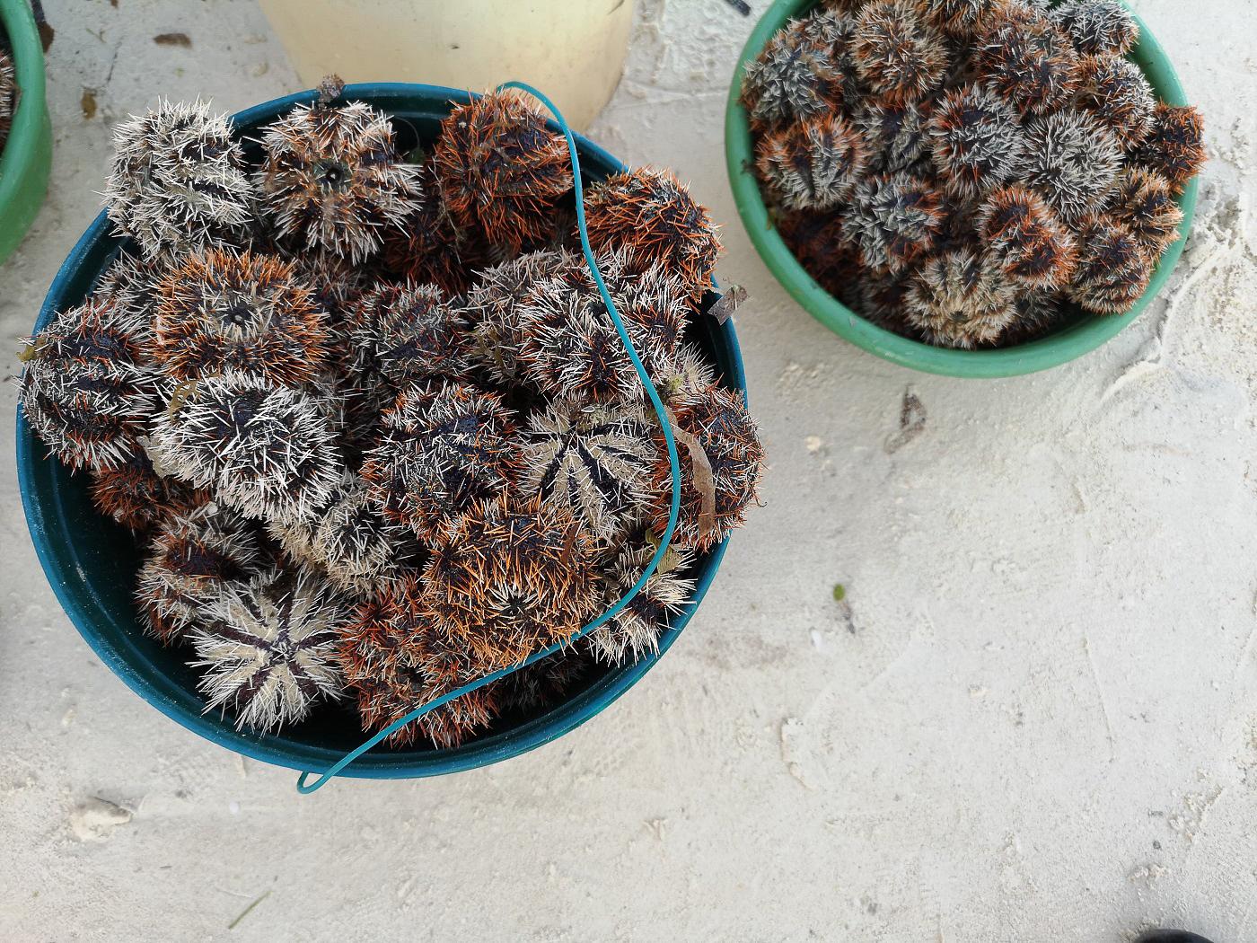 Oursins à Alona Beach