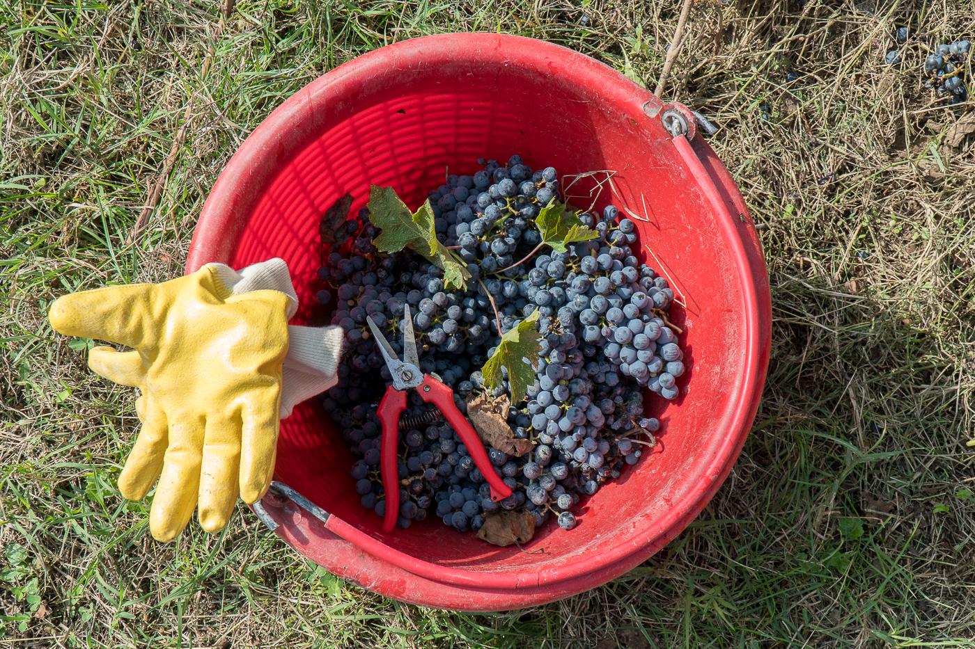 Raisins dans chaudière aux vendanges de Venturini Baldini