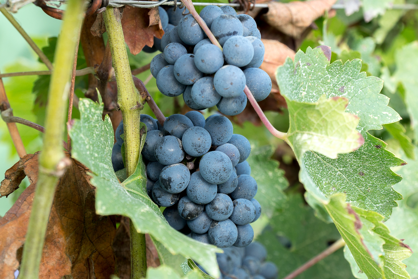 Raisins sur grappe - Expérience incontournable en Émilie-Romagne, Italie
