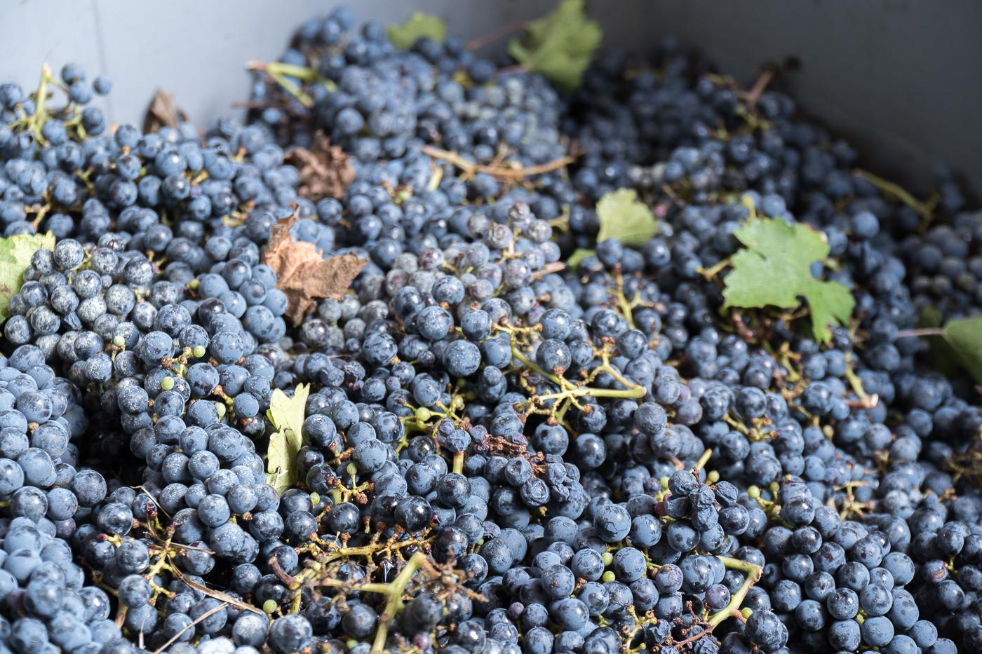 Raisins de Venturini Baldini - Récolte à faire en Italie