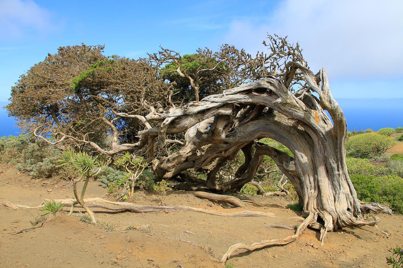 El Hierro en Espagne, arbres couchés aux Canaries - Silkap Tour du Monde