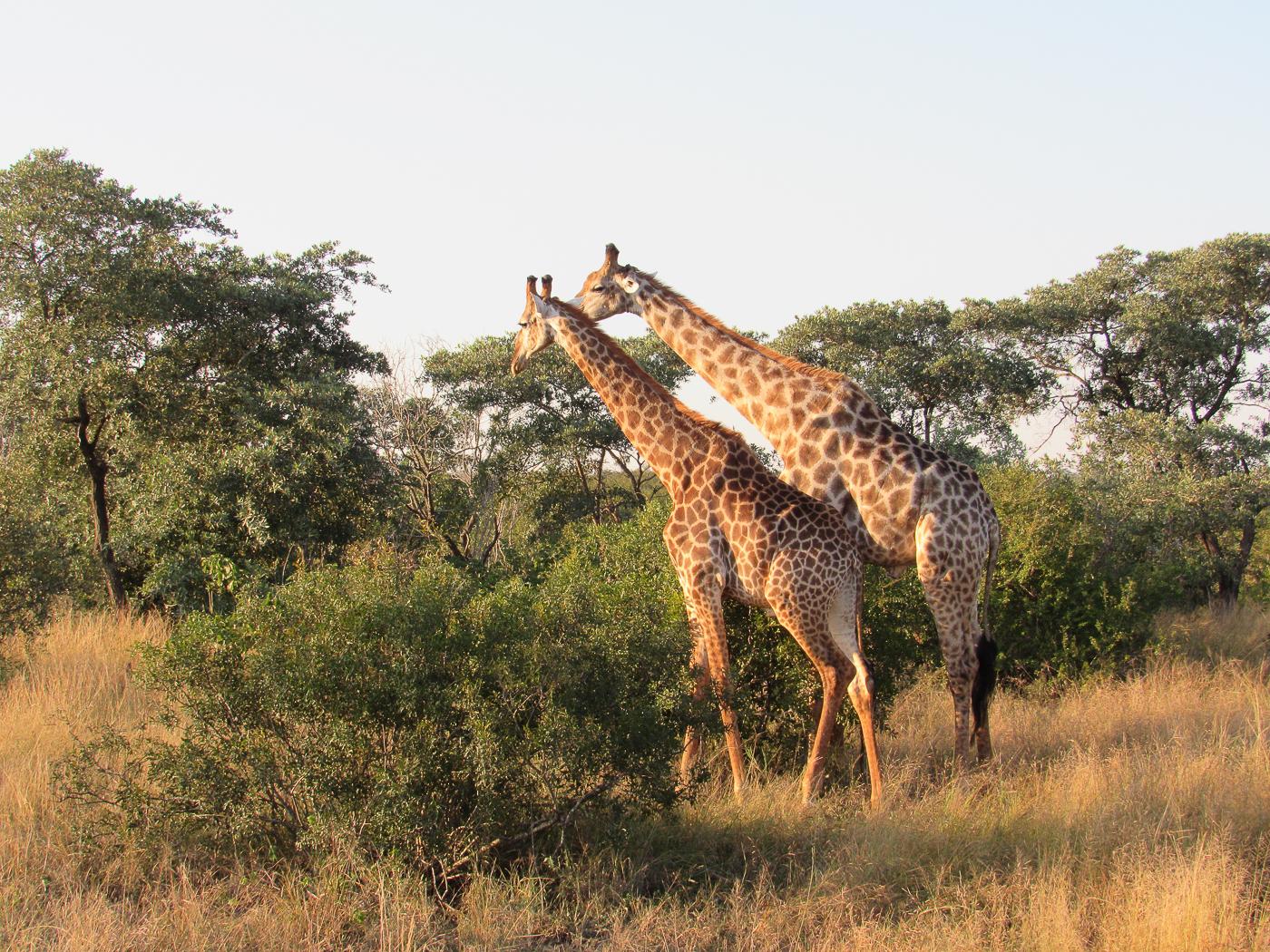 Girafes dans la savane - Voyage en Afrique du Sud par Voyageons le monde