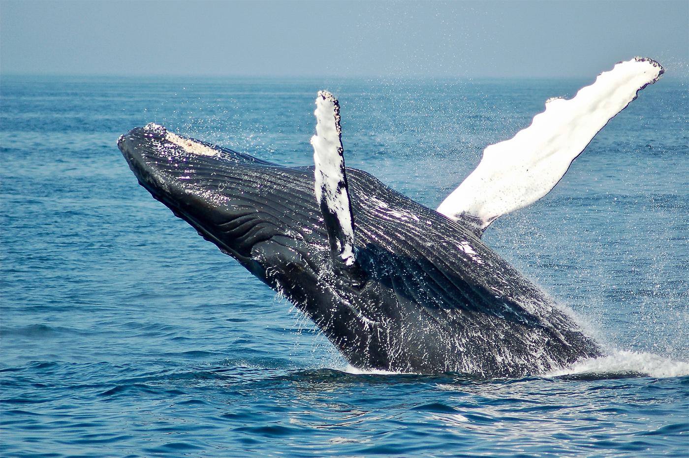 baleine sortant de l'eau - voyage au Mexique en 2020