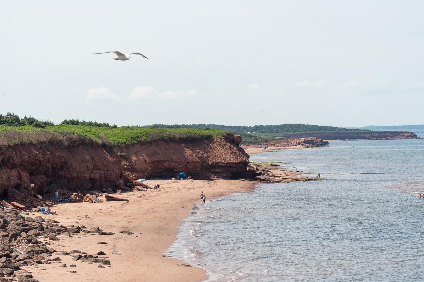 Oiseau au-dessus de la plage de l'île-du-Prince-Édouard