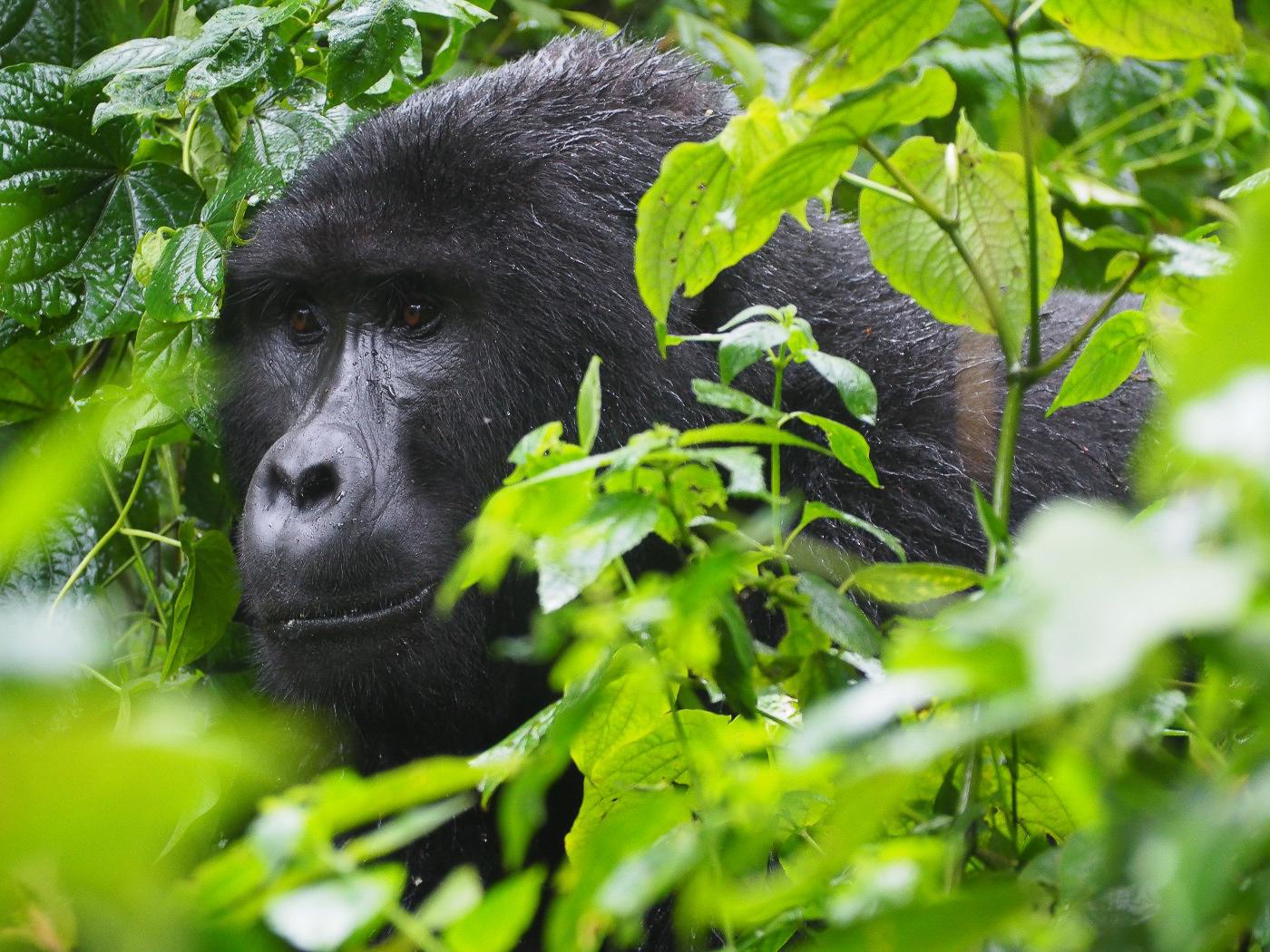 Voyage en afrique 2020 - Ouganda et les gorilles
