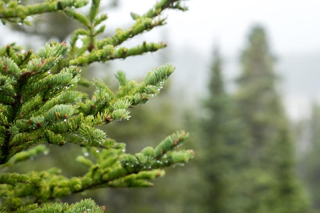Arbre dans forêt boréale de l'archipel Mingan