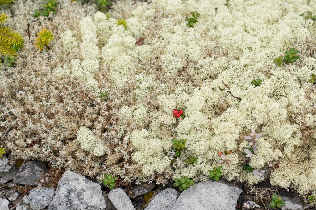 Baies sauvages rouges sur mousse blanche - Archipel de Mingan