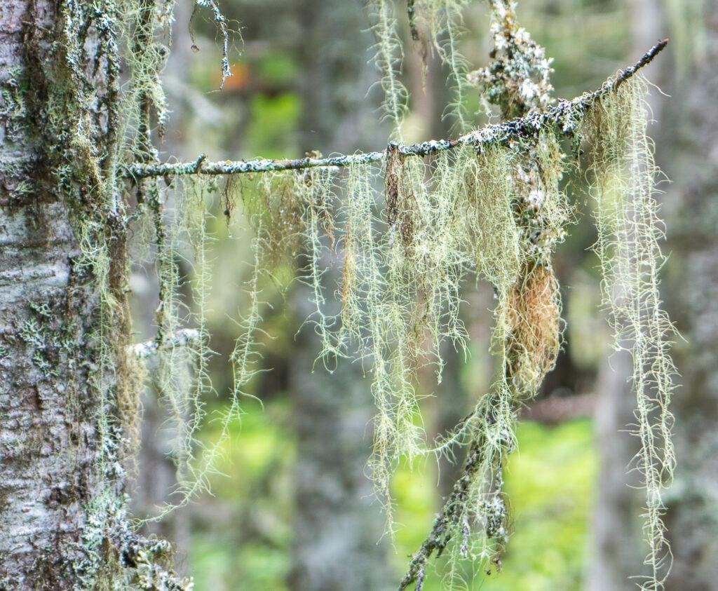 mousse lichen sur les arbres de l'archipel Mingan - Parcs Canada