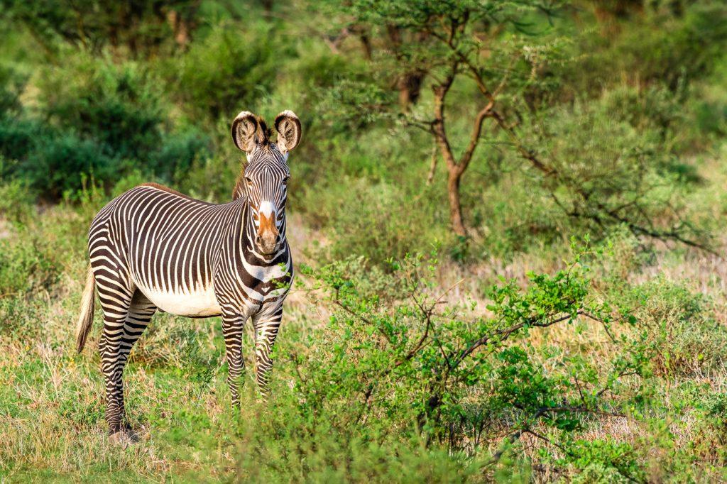 Zèbre de Grévy, Buffalo Springs National Reserve - Safari au Kenya - Grégory Rohart