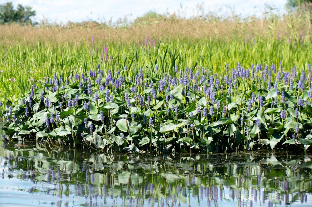 Roseaux dans le marais